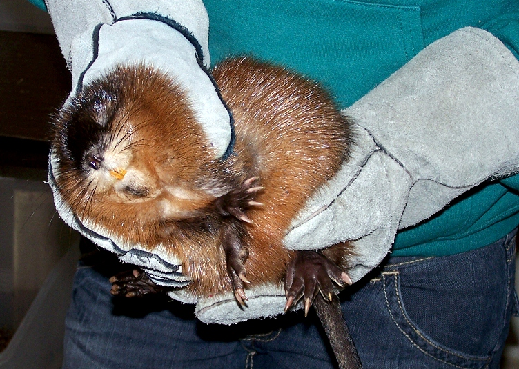 Muskrat Removal - Eastern NC Wildlife Services